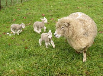 romney_sheep_ewe_with_triplet_lambs_in_new_zealand